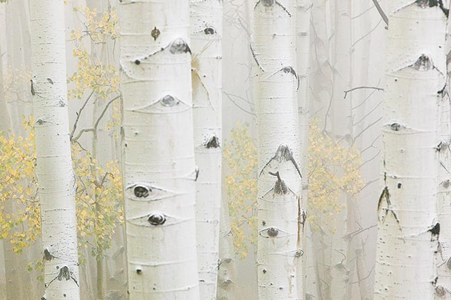 [© Foggy Fall Aspens by Judy Hill is described with Color, Woods, Fall, Stock, Colorado, Elk Range, White River National Forest, Rockys, Alpine, 2006, Horizontal, Cloudy, Tree, Forest, Aspens, Close, Close up, Trees, Black, White, Gold, Yellows, Gray, Neutrals, Cool, Fine Art, Rocky Mountain, Rocky Mountains hit 6140 rate ]
